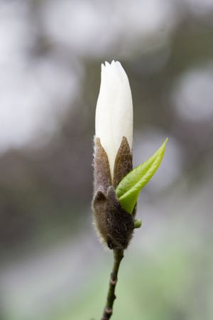 Freshness of Magnolia; Beautiful new life signs in the spring