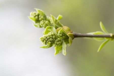 Bud of Lilac. Beautiful new life signs in the spring