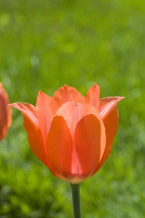 Beautiful tulip in the spring vivid garden