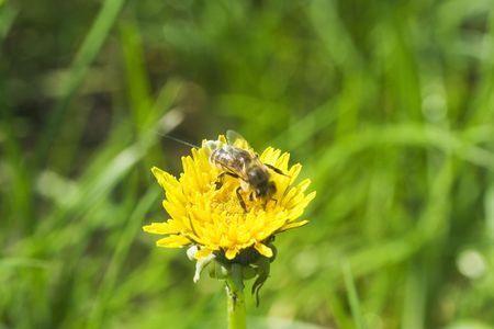 Bee collecting nectar on Dandelion flower under the sun lights Stock Photo