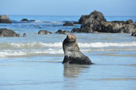 pinniped: Seal on the beach in Paternoster Cape Town Stock Photo