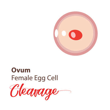 Illustration of a cell stage embryo. Four cell stage icon. Vector cleavage cell. Illustration cleavage