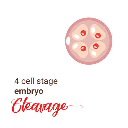 Illustration of a 4 cell stage embryo. Four cell stage icon. Vector cleavage 4 cell. Illustration cleavage