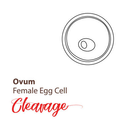 Illustration of a cell stage embryo. Four cell stage icon. Vector cleavage cell line. outline Illustration cleavage