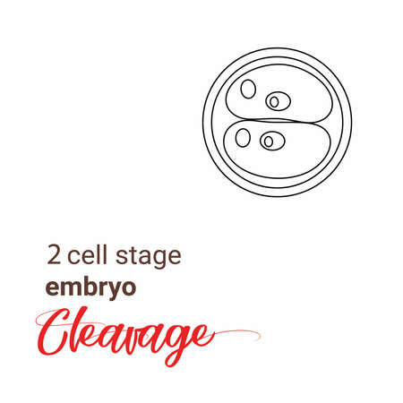 Illustration of zygote stage embryo. zygote cell stage icon. Vector cleavage zygote cell.outline Illustration cleavage