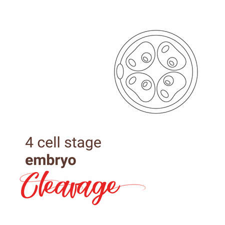 Minimalist linear illustration of a 4 cell stage embryo. Four cell stage line icon. Minimalist cleavage 4 cell outline drawing