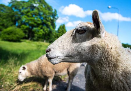 ovine: Photo of the sheep, closup.