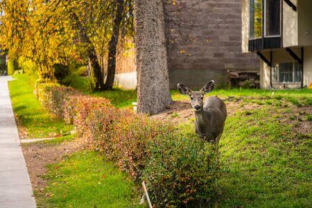 mule: Mule deer in the city