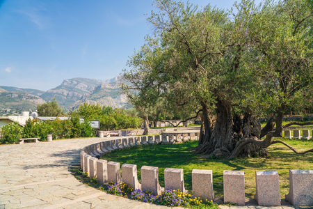 Stara Maslina is one of the worlds oldest olive trees, located near Stari Bar in Montenegro. The tree is said to be over 2,000 years old. It is a popular tourist attraction in the country. A side of the tree is completely burnt. According to popular folklore, a few men were playing cards next to the tree.