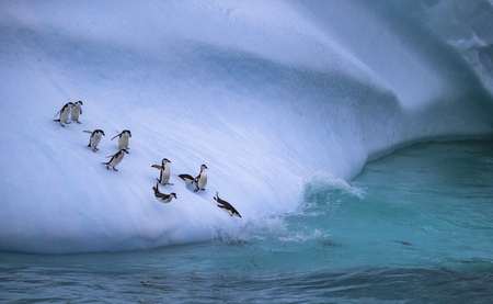 The group of penguins is rolling down the icy slope into the water. Andreev. Stockfoto