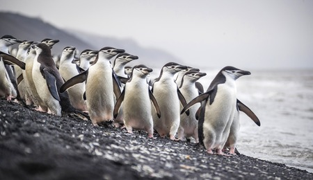 A flock of Antarctic penguins stands on the beach near the water. Andreev. Stock Photo