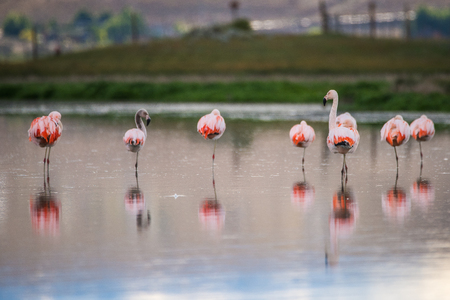 camargue: Birds are reflected on the surface of the water. Shevelev. Stock Photo