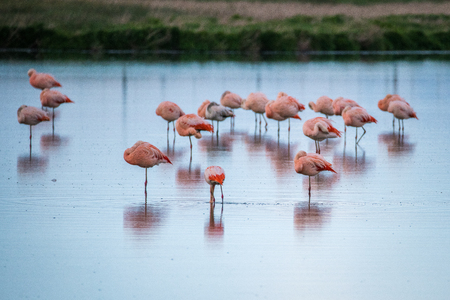 Pink flamingos hid their heads under the wing. Shevelev. Stock Photo