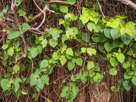 wood stick: Wood stick with creeping plant and green leaves.