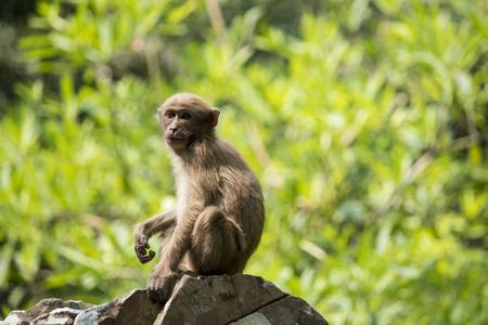 assam: Assam macaque Stock Photo