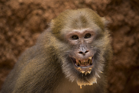 assam: Assam macaque,monkey Thailand Stock Photo