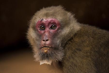 brownish: Assam macaque,monkey Thailand Stock Photo