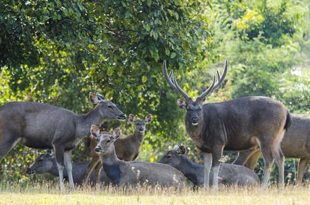 cervus: Sambar deer