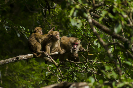 assamese macaque ,infant mokey