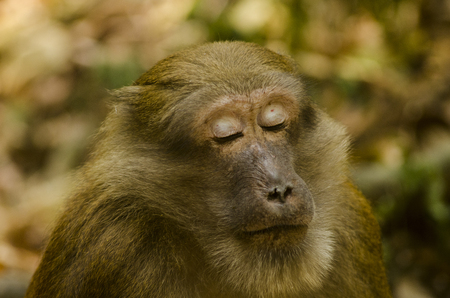 assamese macaque ,infant monkey