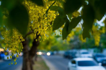Yellow flowers,Cassia fistula on roadside soft focus Stock Photo