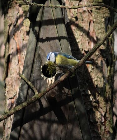 Blue tit building its nest with moss photo