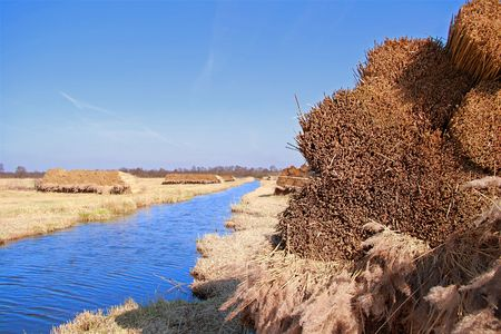 bunched: Bundle Reed nel paesaggio  raccolta le canne