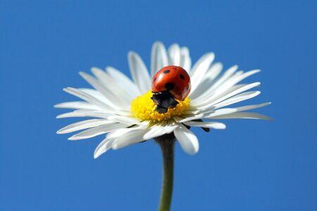 Ladybug on Daisy photo