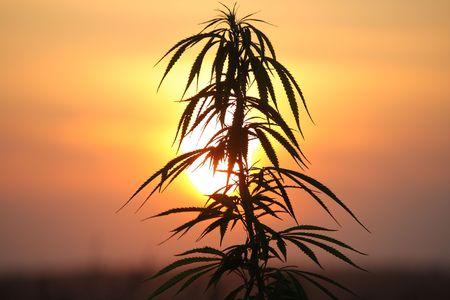 hanf: Hanfpflanze bei Sonnenuntergang