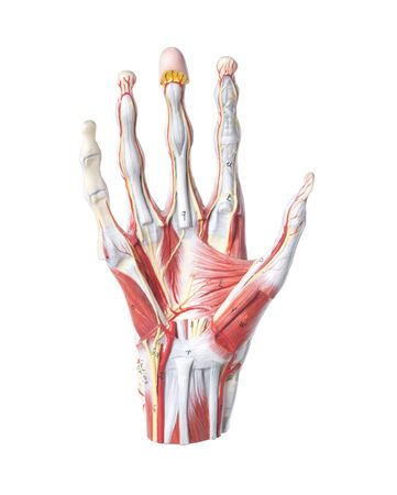 Isolated anatomic model of a human hand photo