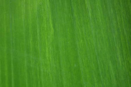 banana leaf: fondo de hoja de pl�tano Foto de archivo