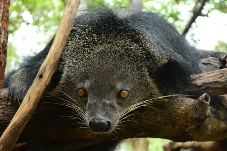 bearcat: binturong (Bear-cat)