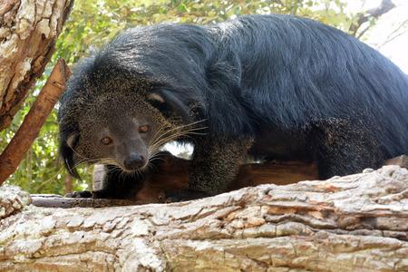 bearcat: binturong (Bear-cat)