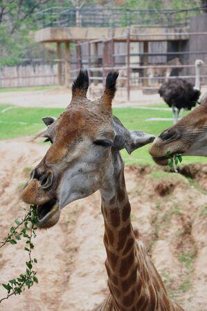 animal body part: giraffe