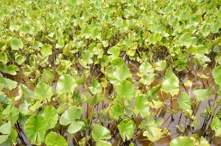 green plants in muddy water in swamp or wetland