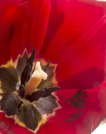 Extreme close-up on center part of blossoming tulip photo