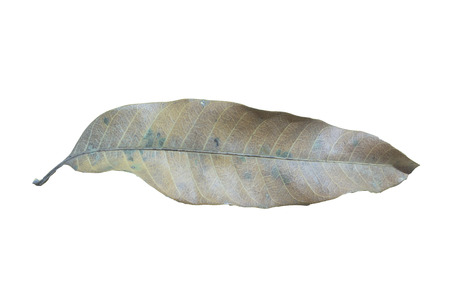 days gone by: A mango leaves Stock Photo