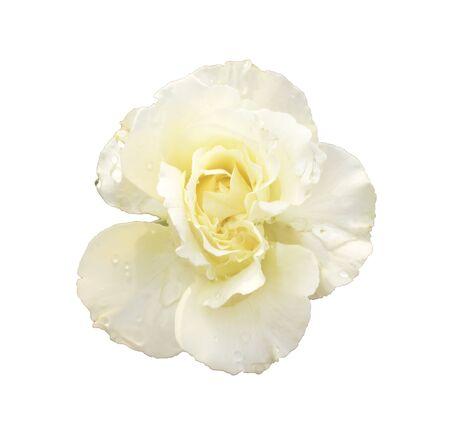 deep focus: Beige rose. Deep focus. No dust. No pollen. Isolated on white background.