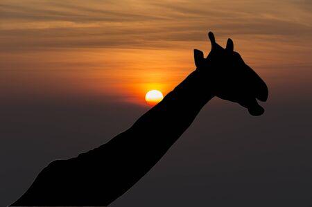 giraffa: Giraffe (Giraffa camelopardalis) silhouette during sunset