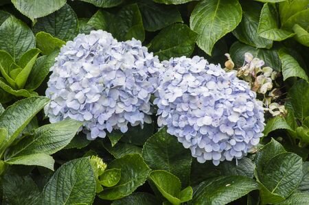 endless: Mophead Hydrangea - Hydrangea macrophylla Endless Summer