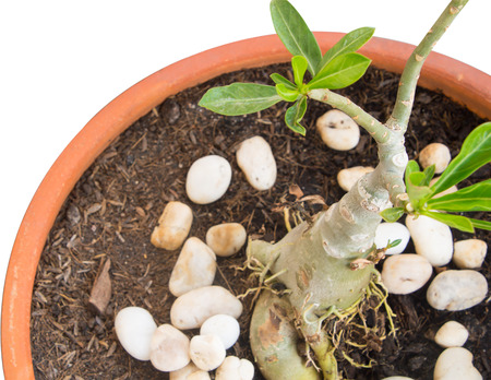 Desert rose (Adenium obesum) in a pot on white isolated background. Stock Photo