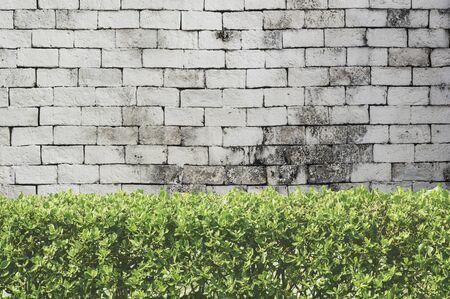 old brick wall: Bushes fence on white brick background.