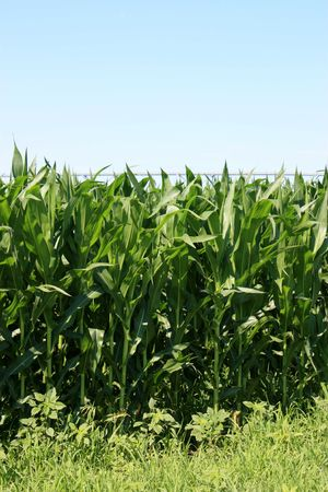 irrigated: Irrigated corn that is growing by the road.