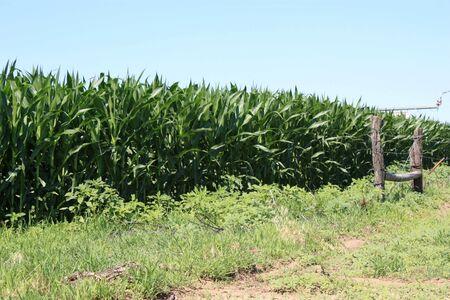 El cultivo de maíz para que pueda ser cosechada. Foto de archivo - 5140032