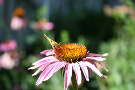 A moth getting nector from a pink cone flower stock photo picture a moth getting nector from a pink cone flower stock photo 5216057 mightylinksfo