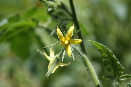 Een tomaat bloeien op een tomatenplant close-up. Stockfoto