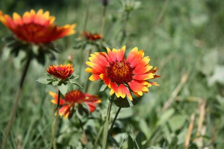 Red and Yellow flower closeup. Stock Photo - 5236225