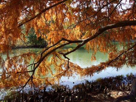 cypress tree: Colorful Bald Cypress tree in the fall with water.
