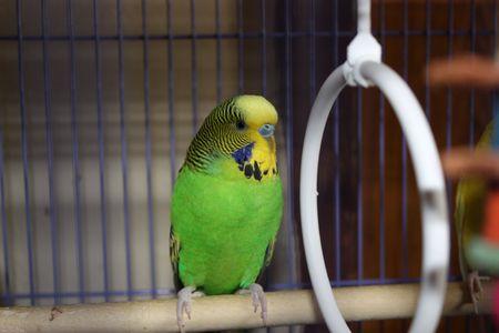 perico: Un perico sentado en una barra de madera en su jaula a la espera de alimentos  Foto de archivo