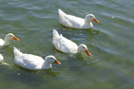 White Ducks shot closeup at Sterling Lake in Sterling Kansas USA on the water with waves. Imagens